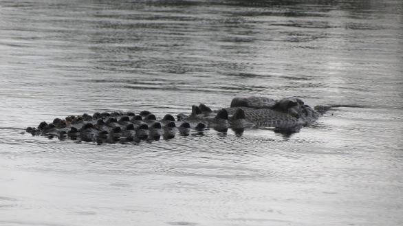 Daintree River Crocodile
